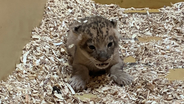African-lion-cub-4-cropped