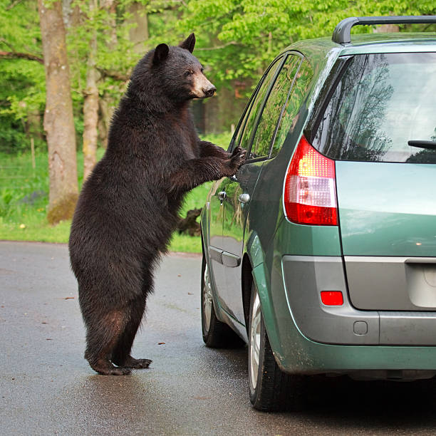 Wild bear looking to the car window